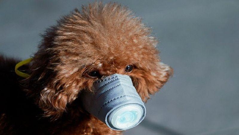 <p> કોરોના વાયરસ ચેપ ફેલાવ્યા પછી ચીનના શાંઘાઈમાં એક કૂતરો ઘરેલું માસ્ક પહેરે છે. </ p>