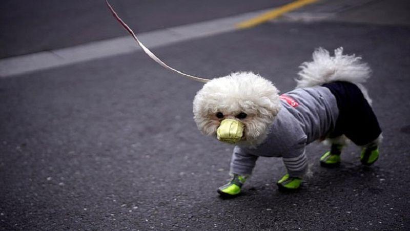 <p> શંઘાઇમાં જ, કૂતરાનો માસ્ક પહેરીને શેરીમાં ચાલવું. સલામતી માટે તેના સાહેબે તેને જૂતા પણ પહેર્યા છે. & Nbsp; </ p>